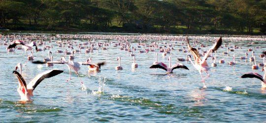 flamencos volando www.africaialha.com